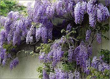 wisteria-chinensis.jpg