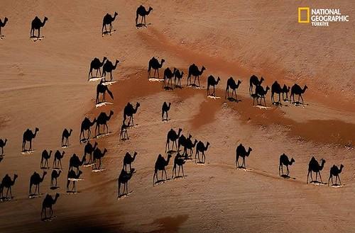 Camelos_