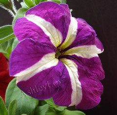 Petunia (Ashley1954) Tags: flower purple explore petunia plantae soe cubism solanaceae blueribbonwinner supershot flowerotica fineartphotos mywinners abigfave platinumphoto ultimateshot diamondclassphotographer flickrdiamond platiniumphoto betterthangood theperfectphotographer excellentsflowers explorewinnersoftheworld mimamorflowers magicdonkeysbest flickrawesomeblossom