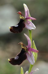 d0802028 (m-klueber.de) Tags: españa spain flora pflanze orchidaceae braun blau orchidee blume 2008 blüte mallorca spanien majorca mediterran balearen ophrys mediterrane balearica ragwurz südeuropa pflanzenwelt blütenfarbe südeuropäisch mediterraneflora 20080413 ophbale balearische balearenragwurz mk2008mall mk2008mall2 d0802028 mkbildkatalog