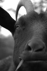 la clope au bec... (lullaby... / figer l'instant....) Tags: portrait france macro grenoble eos noiretblanc blanc nue chevre dtail clope julienillinger