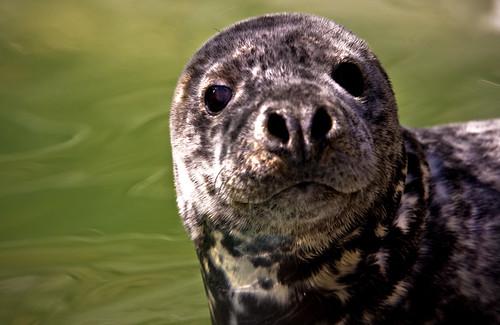フリー画像| 動物写真| 哺乳類| アザラシ|        フリー素材|