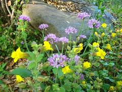 Allium + Mimulus