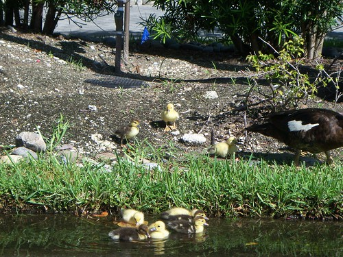 Ducklings in Bonita Springs