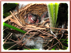 5-days-old nestlings of Pycnonotus goiavier (Yellow-vented Bulbul)!
