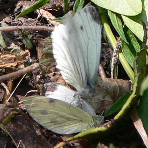 schmetternde Schmetterlinge :-)