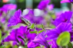 Purple Plant HDR