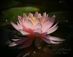 Pink Lilypad (Mary and her camera) Tags: thankyou blooming excellence goldfishpond inmyyard impressedbeauty pinklilypad