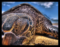 Get out of my Face (Ryan Eng) Tags: ocean park macro beach photography hawaii sand oahu ryan turtle sealife honu hdr eng alii