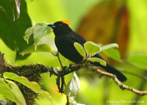 Tawny-crested Tanager by Michael Woodruff.