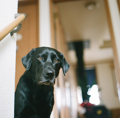 he always watches me (*Sensui*) Tags: labradorretriever portra pentaconsix filmshot