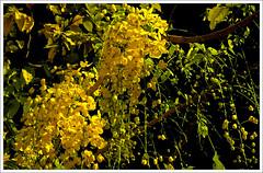 Kanikonna (kcbimal) Tags: flowers flower yellow kerala vishu laburnum kani bimal amaltas pove konna indianlaburnum kanikonna konnapove