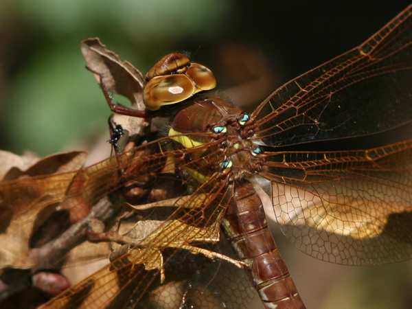 Brown Hawker close-up