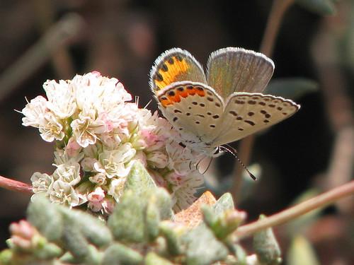 acmon blue butterfly  plebejus acmon