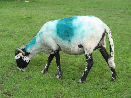Fluro-sheep