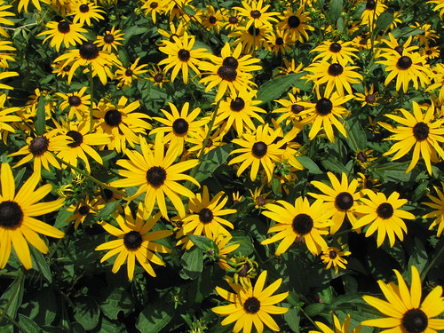 Black-Eyed Susans, St. Simons Island, Georgia, July 2008, photo © 2008 by QuoinMonkey. All rights reserved.