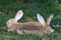 20 minutes of love (deemacdee) Tags: pet rabbit bunny bond bonding flemishgiant