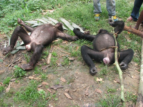 bonobos killed by Major Ranger