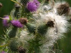 Seed dispersal (ExeDave) Tags: uk england plant flower nature flora thistle august devon gb wildflower cirsium asteraceae powderham cirsiumvulgare spearthistle teignbridge powderhampark plumethistle