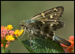 Long Tailed Skipper (onrivertime) Tags: brown butterfly georgia september kennesaw midsize hesperiidae bmna 105mmf28dmicro longtailedskipper urbanusproteus pyrginae lantanta urbanus