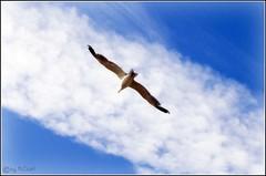 Spain 2008 (MiChaH) Tags: blue sky holiday clouds vakantie spain blauw seagull air wolken lucht spanje costadelaluz zeemeeuw islacanela