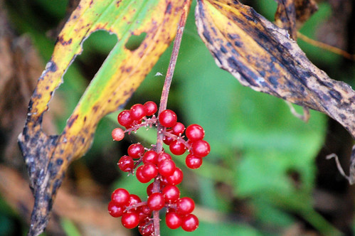 Berries along Cannon Valley Trail