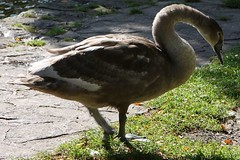 gkt_IMG_9722CL (somersetman) Tags: wells somerset swans cygnets