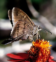 mariposa (Edison Zanatto) Tags: brazil naturaleza flores macro southamerica nature brasil butterfly insect natureza natur borboleta  blume makro mariposa insekt schmetterling nikonn60 americadosul sdamerika fujicolorprovalue200 filme35mm farfala lepdptero continentesulamericano edisonzanatto