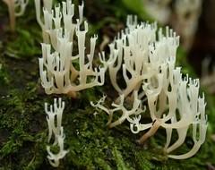 Coral Fungus (Boobook48) Tags: coralfungus blackwood victoria basidiomycota wetforest fungus arfp vrfp arffungi whitearffungi id2bchecked clavicorona basidiomycetesarffungi coralarffungi artomyces