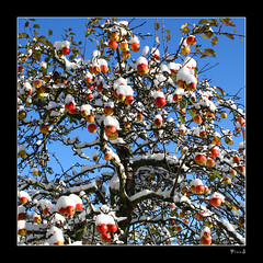 not picked (P i n u s) Tags: canon explore apples soe pinus notpicked abigfave eos400d colorphotoaward damniwishidtakenthat