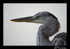 Heron (Drew Scholes) Tags: heron eyes beak headshot maldives thoughtprovoking avianexcellence 15challengeswinner mykindofpicturegallery betterthangood