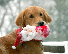 Jolly Molly (jaho326) Tags: goldenretriever molly explore snowdog bestinshow youmakemesmile essentialbeauty vosplusbellesphotos rgmfc