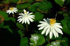 Nenufares (Altagracia Aristy) Tags: amrica waterlily dominicanrepublic lilac dominicana tropic caribbean nymphaea loto santodomingo antilles caribe nenfar repblicadominicana ninfea trpico antillas quisqueya fujif40 liladeagua