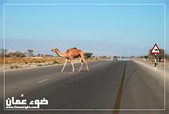 Camel - oman ( ) Tags: oman