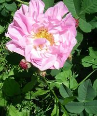 rose et rosier