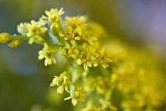 2009 (summerrunner) Tags: flower macro floral nikon bokeh taipei 60mm nikkor 花 soe 生活 otw d80 flickrsbest flickrdiamond