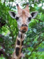 A stare from a giraffe (Lim Chong Tat) Tags: wildlife giraffe singaporezoo nightsafari