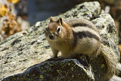 Golden-Mantled Ground Squirrel...Again! (sminky_pinky100 (In and Out)) Tags: canada rockies critter wildlife adorable alberta cuteasabutton personalbest goldenmantledgroundsquirrel omot eyejewel
