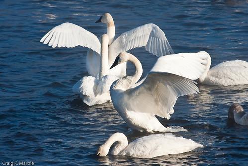 Trumpeter Swan (1 of 3)