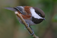 Intensity (janruss) Tags: bird searchthebest explore chickadee avian chestnutbackedchickadee explorefrontpage specanimal animalkingdomelite avianexcellence theunforgettablepictures naturethroughthelens 100commentgroup janruss goldendiamondblog bestofmywinners janinerussell