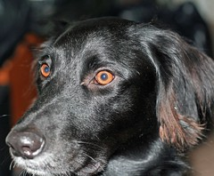 Amazing Eyes (Lady Of The Hounds) Tags: pets dogs animals ky pooch 1001nights hounds smorgasboard beautysecret theunforgettablepictures theunforgettablepicture theperfectphotographer goldstaraward flickrestrellas allkindsofbeauty mallmixstaraward