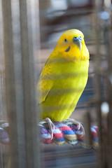 Kang on rope perch (amjoer2) Tags: bird budgie parakeet perch