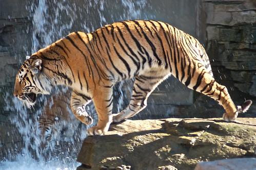 Tiger in falls