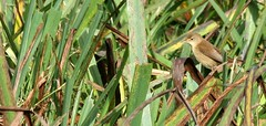 Blyth's Reed Warbler (Acrocephalus dumetorum) (jonnobird (Catching up after Cyprus)) Tags: uk scotland ham shetland warbler foula acrocephalusdumetorum blythsreedwarbler