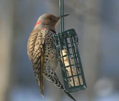 Flicker (Jeanie's Pics) Tags: bird nature connecticut explore suet flicker northernflicker yellowshaftedflicker