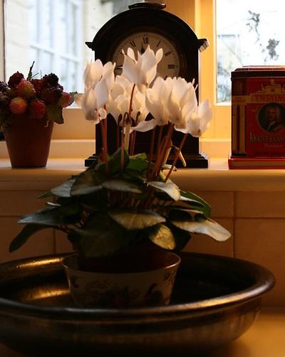 warm light on cyclamen