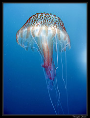 Pelagia noctiluca (cquintin) Tags: plongée méduse