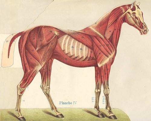 anato cheval 4