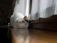 Camilla Polidoro.- (silvialuna (kAreN eLioT)) Tags: sleeping cats white window kitchen contrast sweet finestra camilla lovely riflessi gatto bianco amore dolcezza cucina prospettiva particolari reflectionsoflife silvialuna paraspifferi