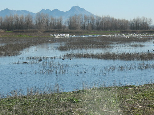 Sacramento valley landscape with snow geese